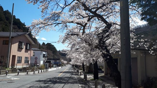 板室温泉の桜は満開です